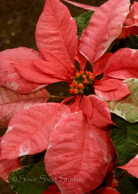 poinsettia 04-mb-036av