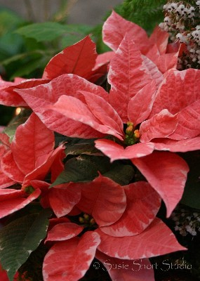 poinsettia 04-mb4-040v