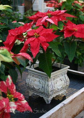 poinsettia 08-mb5-085v